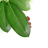 Ladybugs на росных листьях elastica фикуса Стоковая Фотография