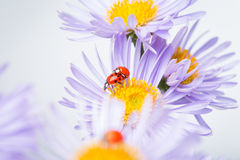 Ladybugs на стоцвете Стоковое Изображение RF