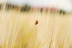 Ladybugs одно на пшеничном поле идут вниз Стоковая Фотография
