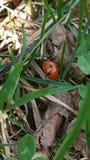 Ladybugs природы цветка Стоковое Изображение RF