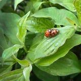 Ladybugs соединяют на зеленой предпосылке лист Стоковое фото RF