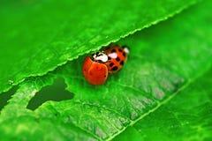 2 ladybugs сопрягают на зеленых лист Стоковые Изображения