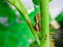 Ladybugs сопрягают Стоковая Фотография RF