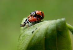 ladybugs 2 Стоковые Фотографии RF