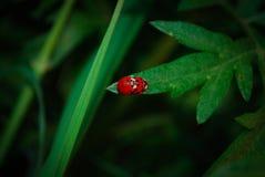 ladybugs Стоковое Изображение