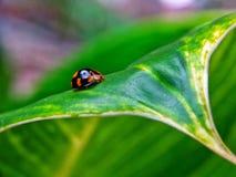ladybugs Стоковая Фотография RF