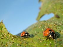 Ladybugs Stock Image