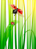 Ladybugs Stock Photography