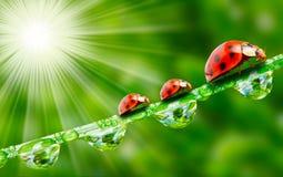 The Ladybugs. Ladybugs family walking on a fresh morning dew Royalty Free Stock Photos
