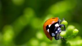 Ladybugs Royalty Free Stock Images