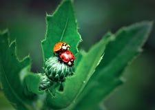 Ladybugs Στοκ φωτογραφία με δικαίωμα ελεύθερης χρήσης