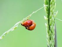 ladybugs Foto de Stock Royalty Free