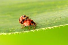ladybugs Foto de archivo