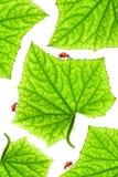 Ladybugs Imagenes de archivo