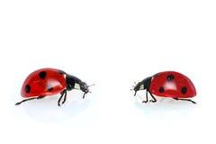 Ladybugs. Two ladybugs isolated  on the white background Royalty Free Stock Images