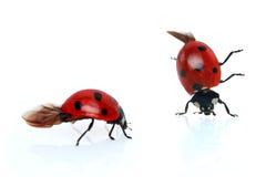 ladybugs Стоковое Фото
