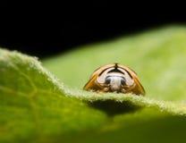 ladybugs Fotografia de Stock