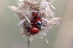 ladybugs Stock Afbeelding