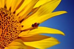ladybugs Στοκ Φωτογραφίες
