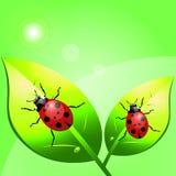 ladybugs Foto de archivo libre de regalías