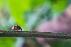 ladybugs Fotografia Stock