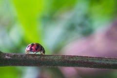 ladybugs Стоковое Изображение RF