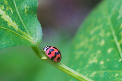 ladybugs Immagine Stock