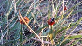 ladybugs Fotografia Stock Libera da Diritti