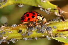 Ladybugs and Aphids, how to get rid of garden and greenhouse pests with lady beetles in Organic methods. How to get rid of green flies or green lice in garden Royalty Free Stock Photography