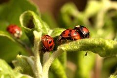 Ladybugs Royalty Free Stock Photo