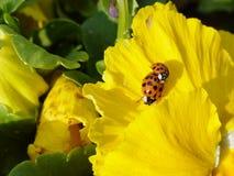 Ladybugs atractivos Imágenes de archivo libres de regalías