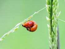 Ladybugs Royalty Free Stock Photo