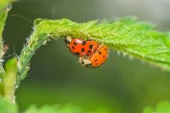 Ladybugs Royalty Free Stock Image