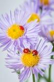 Ladybugs on camomile Stock Photography