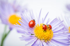 Ladybugs on camomile Stock Photos