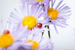 Ladybugs on camomile Royalty Free Stock Photo