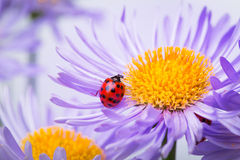 Ladybugs on camomile Stock Images