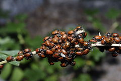 Ladybugs  close-up  Royalty Free Stock Photo