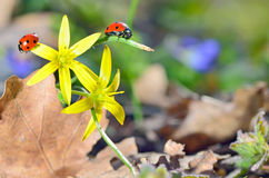 Ladybugs (Coccinella) на желтом цветке Стоковая Фотография