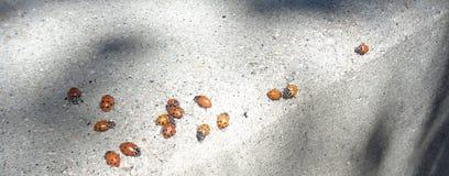 Ladybugs Coccinellidae σε μια συγκράτηση Στοκ Φωτογραφία