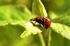 Ladybugs / Coccinellidae Royalty Free Stock Images