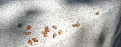 Ladybugs Coccinellidae on  a curb Stock Photography
