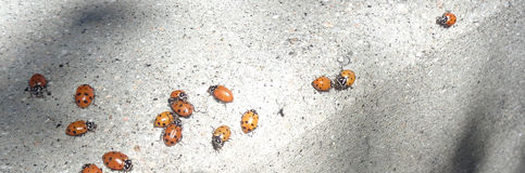 Ladybugs Coccinellidae on a Curb 2 Royalty Free Stock Photos