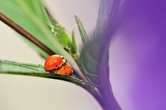 Ladybugs (Coccinellidae) mating. Ladybirds mating on a leaf in a South Florida garden. The macro was partially shot behind a light purple flower royalty free stock photos