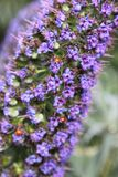 Ladybugs or Coccinellidae on Pride of Madeira in spring. Pride of Madeira (Echium candicans or Echium fastuosum) flowers blooming in April from the borage family Stock Photography