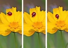 Ladybugs del trittico Fotografie Stock Libere da Diritti