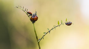 Ladybugs eating. Aphids in autumn Royalty Free Stock Image
