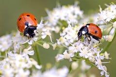 Ladybugs en flores Foto de archivo libre de regalías