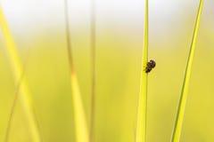 Ladybugs en hierba verde Foto de archivo libre de regalías