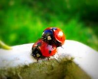 Ladybugs enjoy springtime Stock Images